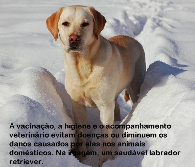 700px-Labrador_Retriever_snow