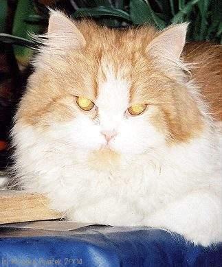 Old_Persian_Cat_MUCA2_2004